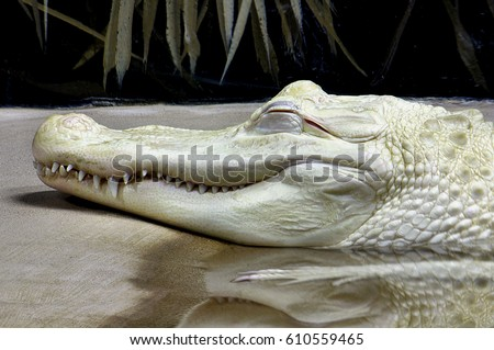 Shutterstock Albino Alligator resting on bank.