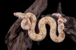 Albino Boa constrictor on a piece of wood, on a black background