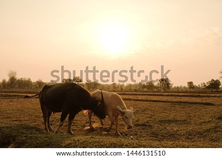 Albino buffalo and common buffalo are grazing at grazing in the morning sunrise.the picture with filter effect.