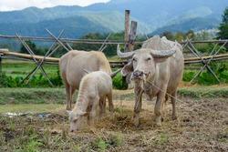 Albino buffalo group in farm at countryside of thailand