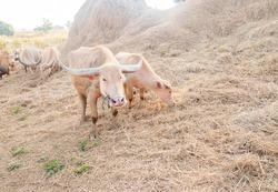 Albino buffalo has white fur and pink skin. Eating straw beside the barn