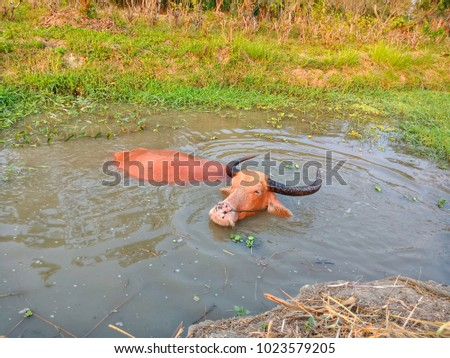 Shutterstock Albino buffalo  to play water at the sunset-Albino buffalo (Pink buffalo)  is swimming happily in the evenings when the sunset.