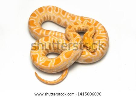 Albino Burmese Python (Python molurus bivittatus) isolated on white background