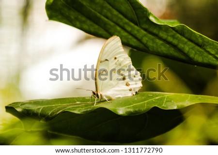 Albino Butterfly Chillen Stockfoto ©