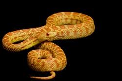 Albino Gopher Snake (Pituophis catenifer) on black backgroud.