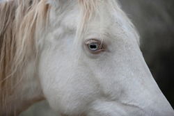 albino horse's icy blue eye detail photo, perlino horse with blue eyes close up portrait