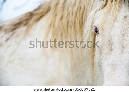 Albino horse with eyes blue on the snow #366089321