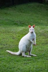 Albino Kangaroo, white kangaroo stands on the green grass.