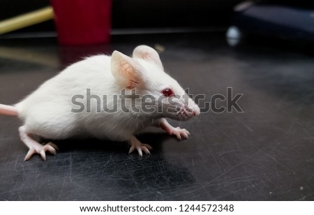 Albino laboratory mouse on a black experiment desk. BALB/c strain for scientific experiments and medical tests on animals.