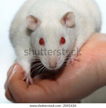 Albino laboratory rat on the hand