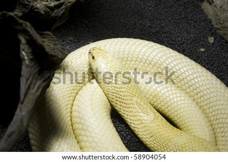 Albino Monocle Cobra