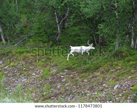 Albino Moose in Swedish forest summer