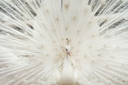Albino peacock bird displaying out spread tail feathers with white plumage in zoo park. Wild animal in nature.