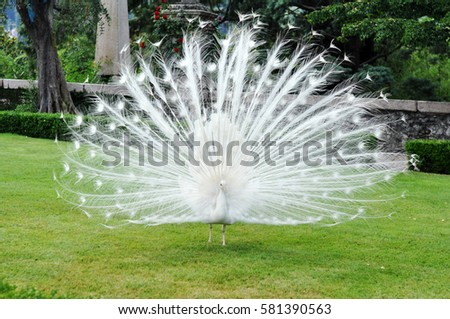Shutterstock Albino peacock in the garden (Lake Maggiore, Italy)