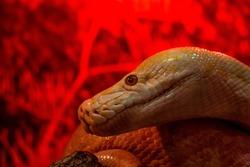 Albino Phyton, yellow serpent's head