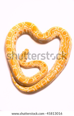 albino python in the form of heart on a white background