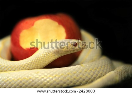 Albino snake with red apple