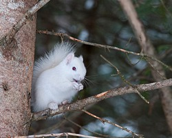 Albino Squirrel sitting on a tree branch in the forest a close up showing its beautiful body, head, red eyes, pink ears and enjoying its surrounding and environment.