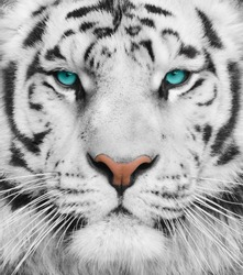 Albino tiger with beautiful turquoise eyes. Portrait of a Bengal big tiger
