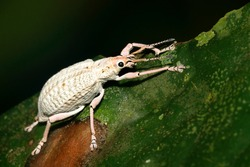 Albino Weevil, Beetle, Curculionidae, Tropical Rainforest, Napo River Basin, Amazonia, Ecuador, America