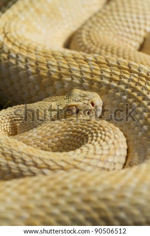 Stock Photo Albino Western Diamondback Rattlesnake (Crotalus atrox)