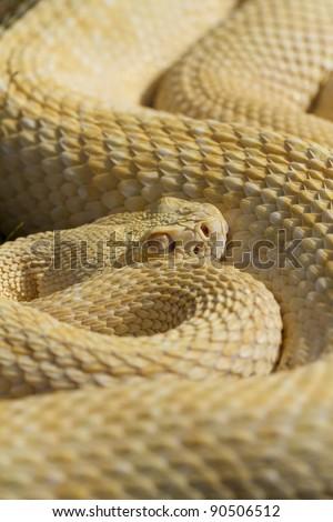 Stock Photo Albino Western Diamondback Rattlesnake (Crotalus atrox)