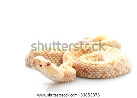 Albino Western Diamondback Rattlesnake (Crotalus atrox) isolated on white background.