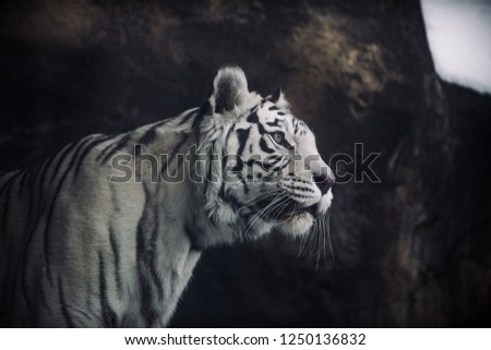 Albino White Bengal Tiger hunting in the morning #1250136832