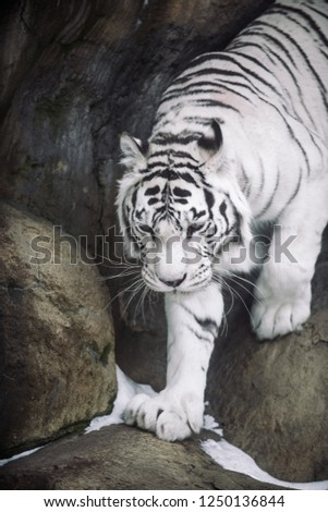 Albino White Bengal Tiger hunting in the morning #1250136844