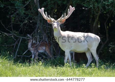 Shutterstock Albino white deer