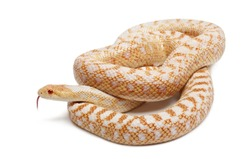 Albinos Pacific gopher snake or coast gopher snake, pituophis catenifer annectans applegate, in front of white background