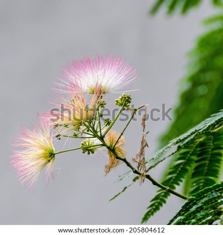 Albizia julibrissin tree flower persian silk tree pink silk tree albizia julibrissin tree flower persian silk tree pink silk tree close up mightylinksfo