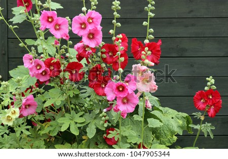 Alcea rosea (common hollyhock) is an ornamental plant in the Malvaceae family. Blooming  plants on the background of a black wooden fence.