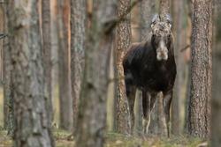 Alces alces ( moose) elk, mammal