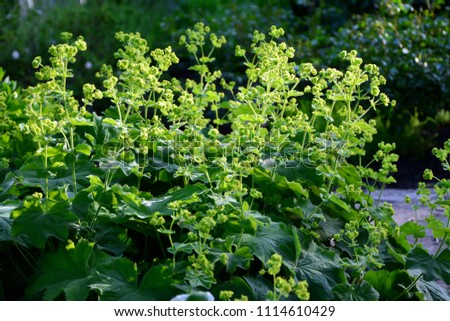 Alchemilla mollis  or lady's mantle in the garden close-up.