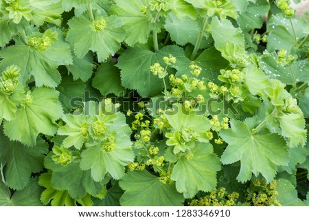 Alchemilla vulgaris - common lady's mantle plant with flowers and leaves