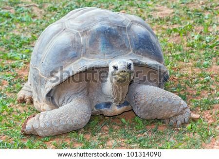 Aldabra giant tortoise (Aldabrachelys gigantea), from Seychelles islands one of the largest in the world.