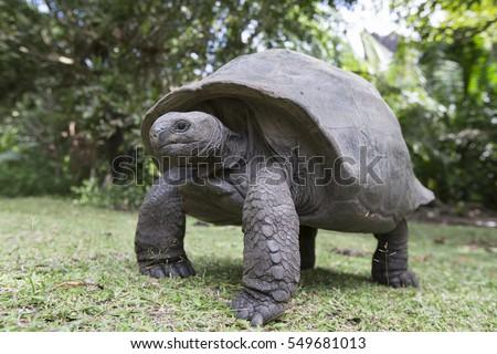 Aldabra Giant Tortoise  at tropical island in Seychelles Photo stock ©