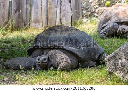 Aldabra giant tortoise, Curieuse Marine National Park, Curieuse Island, Seychelles Stock photo ©