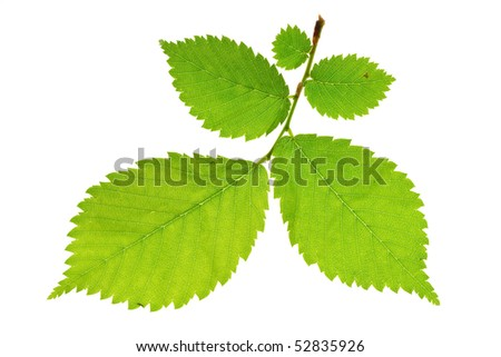 alder tree isolated on white