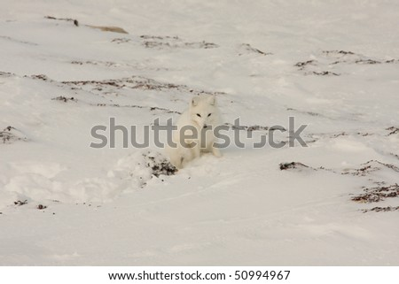 Alert arctic fox on white snow near Hudson Bay, Canada