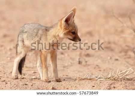 Alert Black-backed baby Jackal (Canis mesomelas) in South Africa
