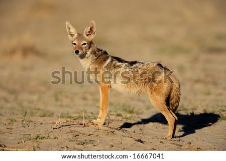 Alert black-backed Jackal (Canis mesomelas), Kalahari desert, South Africa