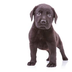 alert black labrador retriever standing on white background and looking at the camera