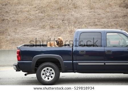 Alert bloodhound riding in pickup bed. Horizontal.