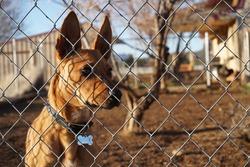 alert brown dog behind fence