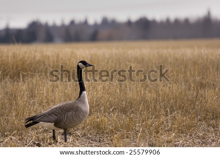 Alert Canada Goose At Sunset