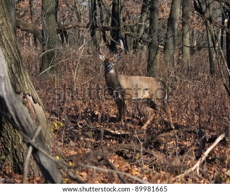 alert deer/buck poses in the middle of a dense heavily wooded forest. cool autumn day, barren trees and fallen leaves make a natural setting.