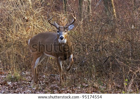 alert deer/buck raises its front leg to warn off intruder. Background is in the middle of the forest, cool autumn day, barren trees, bushes and fallen leaves make a natural background.