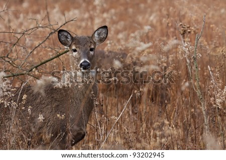 alert deer/doe poses in the middle of a prairie on a cool autumn day, barren trees and fallen leaves make a natural background.